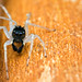 Maevia inclemens dimorphic jumping spider by Tibor Nagy