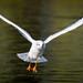 Seagull in Flight by Kutub Uddin...