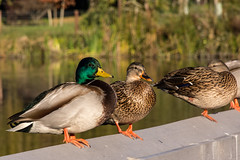 Ducks on the Pier at Neary Lagoon Park