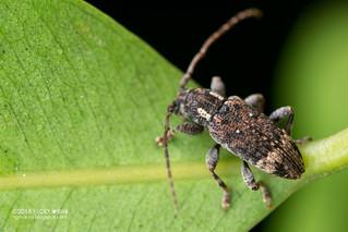 Longhorn beetle (Sybra sp.) - DSC_9583