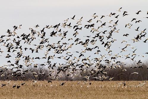 2016 baldwin baldwinwildliferefugearea canon december eos7d illinois kaskaskia midwest snowgeese bird birds nature wildlife redbud unitedstates us