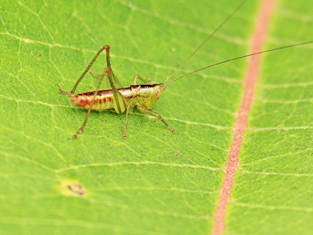Small grasshopper on milkweed 20150825