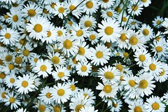 Daisies. A lot of!! Never is enough! I love them! Unykaphoto Wildflowers Daisies