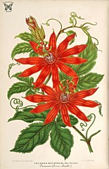 Passiflora vitifolia [as Tacsonia buchanani ] L' Illustration horticole, vol. 14: t. 519 (1867) [P. Stroobant]