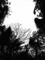 Milky sky, dark woods.