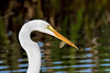 Great White Egret with prey by bananaman33428