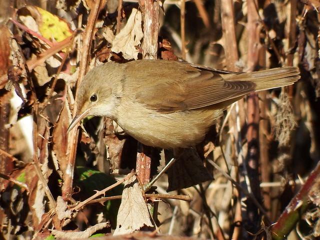 Rouxinol pequeno dos caniços / Reed-Warbler (Acrocephalus scirpaceus)