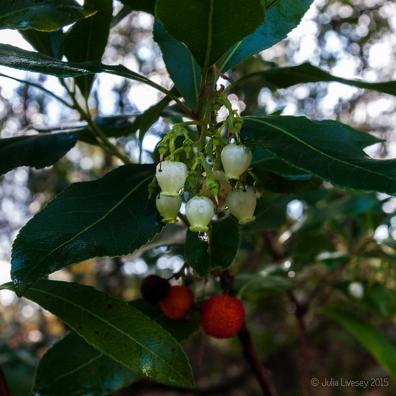 The strawberry tree is confused - fruit and flowers