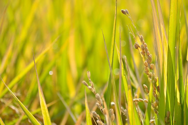 収穫を待つ稲