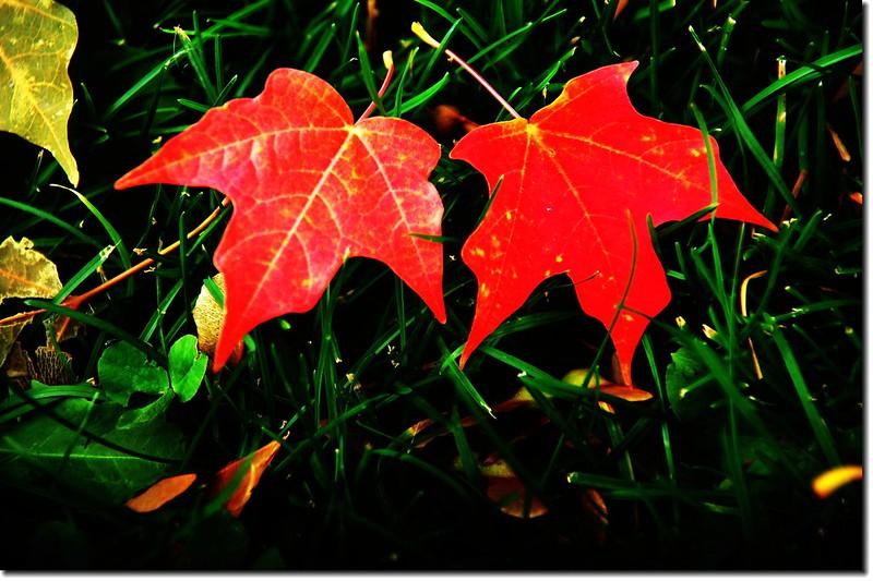 Sugar maple leaves (7)