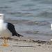 Yellow-footed Gull por Birdernaturalist