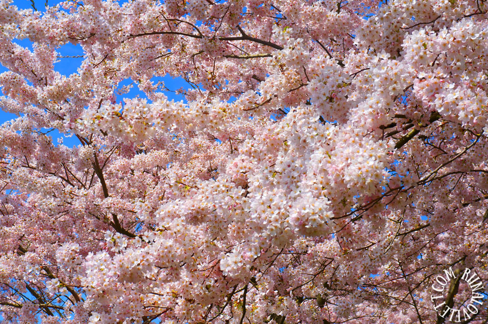 cherryblossoms12