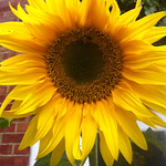 sunflower in jinty's Back garden
