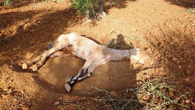 Rutigliano- Cavallo in fin di vita in campagna (1)