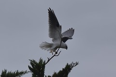 Black - shouldered Kite