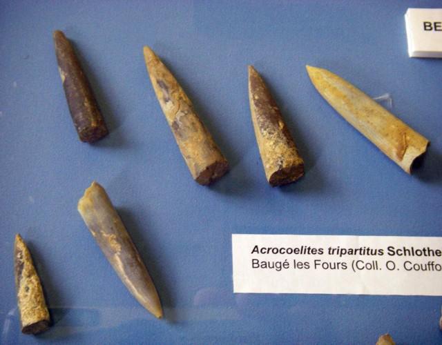 Acrocoelites tripartitus 20839056526_0a4bbe0ed5_o