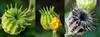 2015-08-28 (240/365) Velvetleaf macro triptych by lundyd
