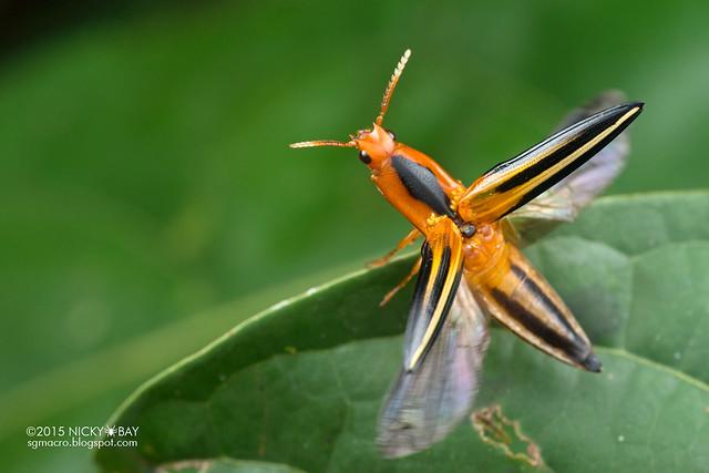 Click beetle (Elateridae) - DSC_4230