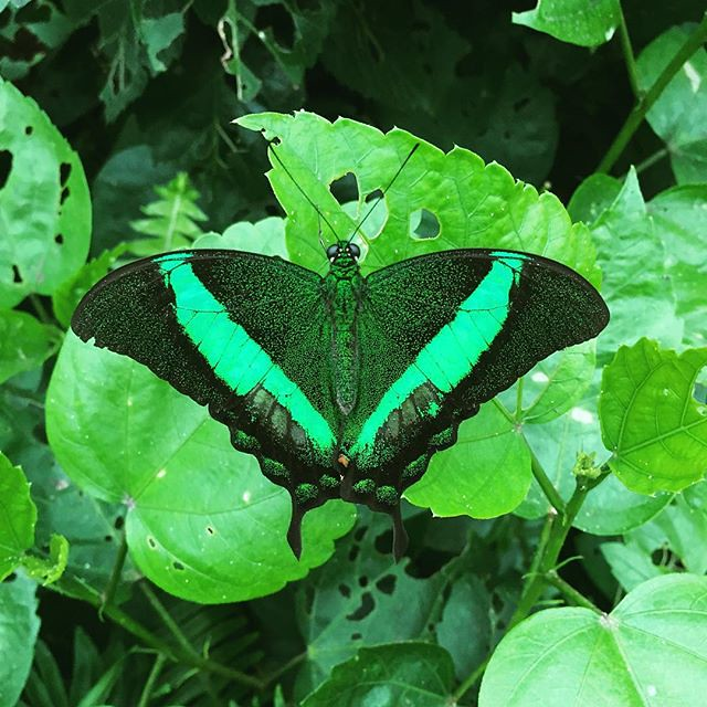 Green butterfly by bartlewife