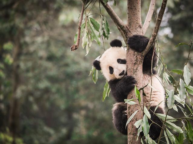 giant panda on a tree limb