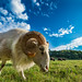 Sheep on  meadow by Ed Fotograf