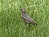 Brown-headed Cowbird, female by manzanita-pct