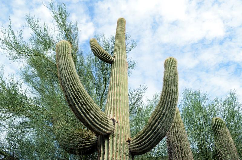 Classic Cactus