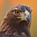 Golden Eagle 2 (09 25 2015) by PhotoDocGVSU