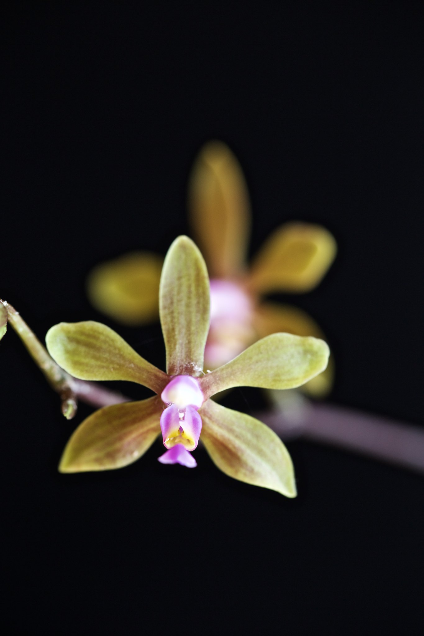 Phalenopsis hainanensis 21824515352_8a6c3af34c_k