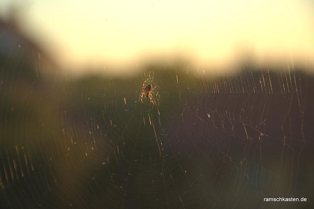 Spinne im Abendlicht