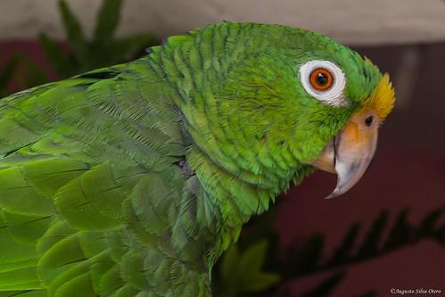 naturaleza fauna colombia florida valle aves loros valledelcauca