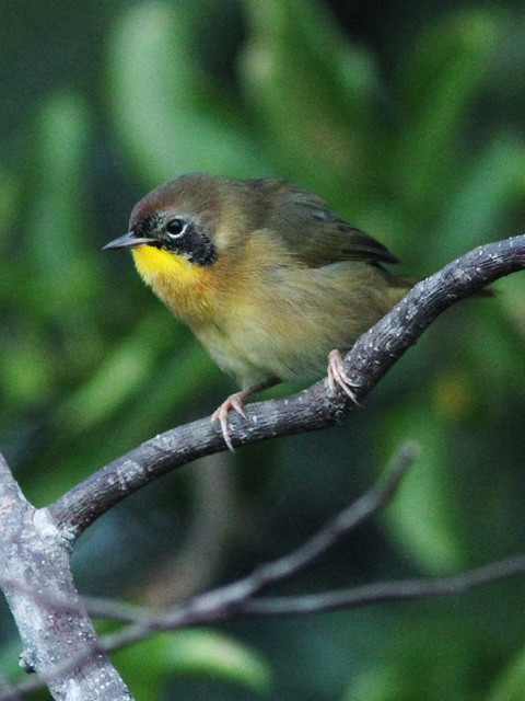 Common Yellowthroat young male 20151015
