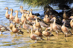 a raft of plumed whistling ducks