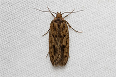 Hofmannophila pseudospretella (Brown House Moth) Hodges # 1064