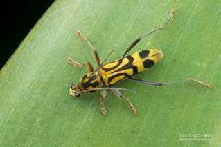 Longhorn beetle (Chlorophorus annularis) - DSC_8173