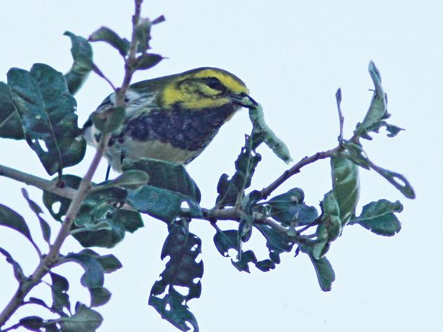Black-throated Green Warbler 5-20151103