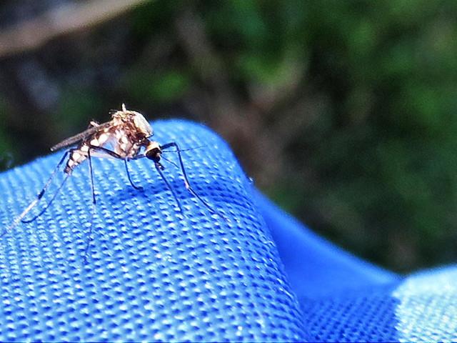 Mosquito 20151129