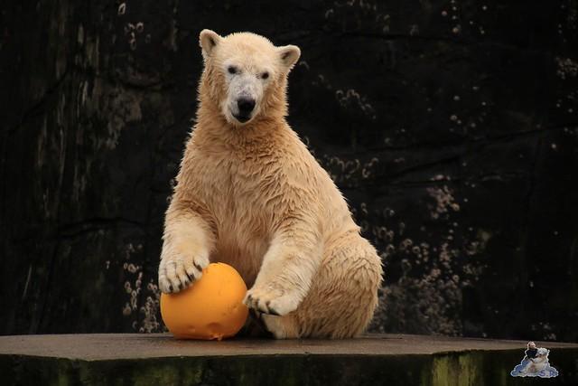 Eisbär Fiete im Zoo Rostock 13.12.2015  73