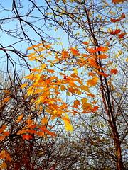 Autumn. Maple Golden Foliage
