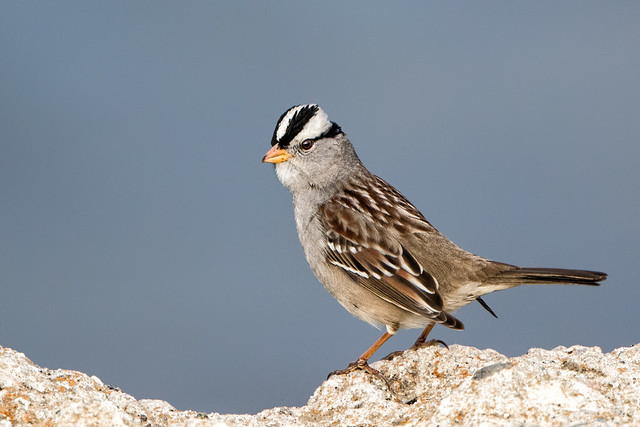 Native Sparrow