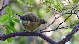 Angry Bellbird (DxO edit)