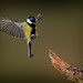 Parus major by Nickerzzzzz - Thanks for stopping by :)