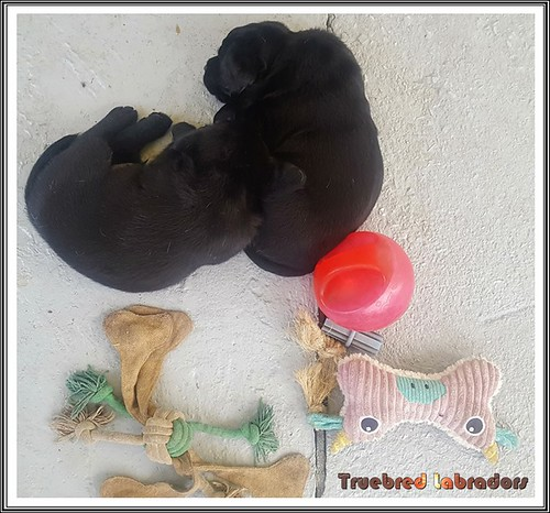 black-labrador-retriever-puppies-sleeping