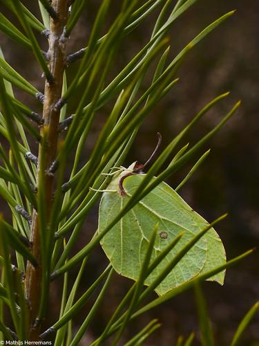 Citroenvlinder terug in winterslaap
