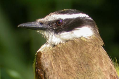 bird wildlife birding ornithology birdwatching oiseau texas2004 faune greatkiskadee ornithologie tyranquiquivi