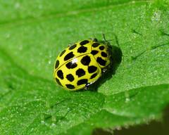 22 Spot Ladybird - Psyllobora vigintiduopunctata