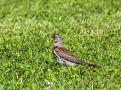 2015 Passage à Gilau en Roumanie, oiseaux