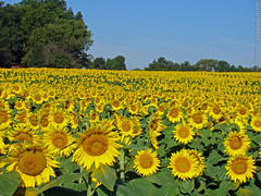 Sunflower Field at Grinter Farms, 5 Sept 2015