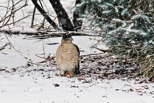 IMG_5079c_Hawk_in_Snow
