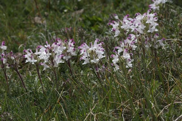 Pedicularis cheilanthifolia (Scrophulariaceae)